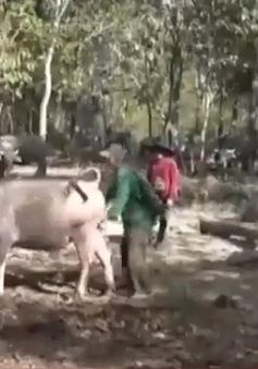 Trâu nuôi trong rừng