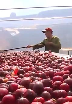 Đắk Lắk: Khuyến cáo người dân thu hoạch cà phê đảm bảo chất lượng