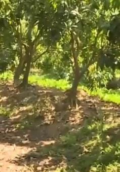 Đồng Tháp: Vườn cây ăn trái thiếu nước nghiêm trọng