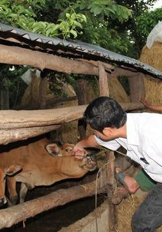 Đắk Lắk: Phòng chống bệnh viêm da nổi cục trên trâu bò