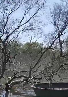 Quảng Nam: Rừng ngập mặn chết hàng loạt không rõ nguyên nhân