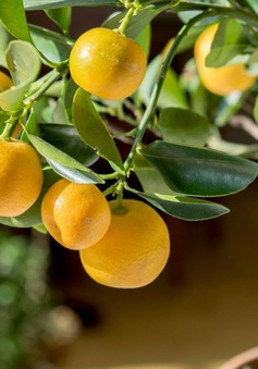 Không cần mua hoa quả tích trữ, bạn có thể trồng những trái cây này tại nhà