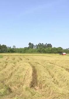 Gặt lúa trong mùa dịch