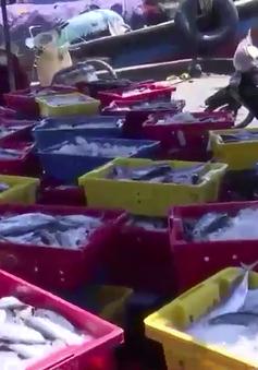 """Ngư dân Bình Định """"trúng đậm"""" cá ngừ sọc dưa"""