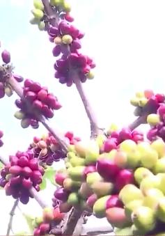 Giải pháp nâng tầm sản phẩm cà phê Gia Lai
