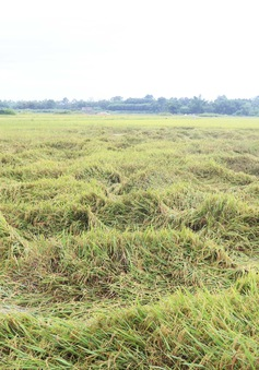 Gia Lai: Bão số 5 làm 1 người tử vong, thiệt hại hàng trăm ha hoa màu