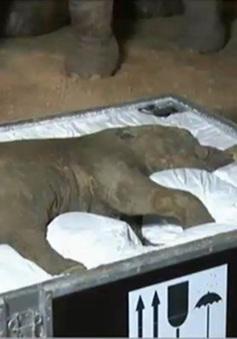 Anh: Triển lãm voi ma mút niên đại 42.000 năm