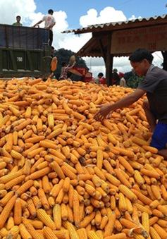 Việt Nam chi gần 600 triệu USD nhập khẩu ngô trong 5 tháng