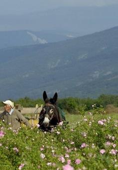 Bulgaria: Ngập tràn sắc hoa hồng trong vụ thu hoạch