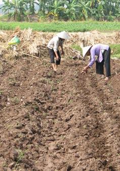 Vĩnh Long: Diện tích trồng khoai lang tăng đột biến