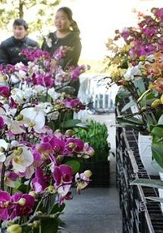 Hoa, cây cảnh chơi Tết: Lan Trung Quốc lấn át lan Việt