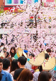 Hôm nay (8/3): Lễ hội hoa anh đào tại Hà Nội