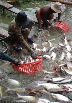 """Cảnh giác giá cá tra tăng """"nóng"""""""