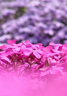 Tuyệt đẹp sắc hoa shibazakura Nhật Bản