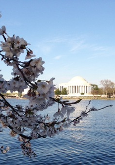 Ngắm hoa anh đào rực rỡ bên dòng Potomac ở Washington D.C