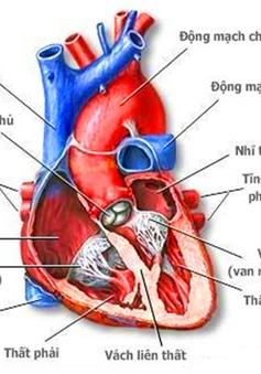 Phát hiện tế bào thần kinh điều hòa nhịp tim