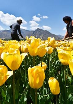 Tulip đua sắc tại Liêu Ninh, Trung Quốc