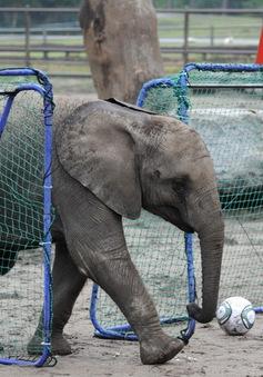 Chú voi Nelly - Hiện tượng tiên tri mới của World Cup 2014