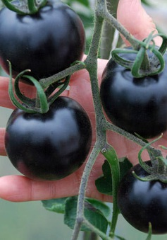 """Cà chua đen - """"Siêu thực phẩm"""" chống lão hóa"""
