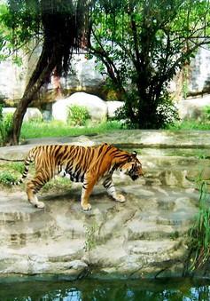 Chung tay bảo vệ loài Hổ