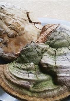 Phát hiện 2 cây nấm linh chi khổng lồ