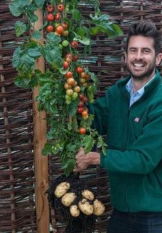 Cây lai giữa cà chua và khoai tây được bán rộng rãi tại Anh