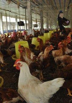 Sẽ ban hành chính sách hỗ trợ người chăn nuôi