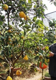 Cây ngũ quả độc đáo của lão nông 60 tuổi đất Hà Thành