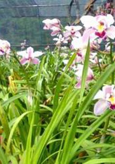 Hoa xứ lạnh vùng cao Kon Plông sẵn sàng phục vụ Tết