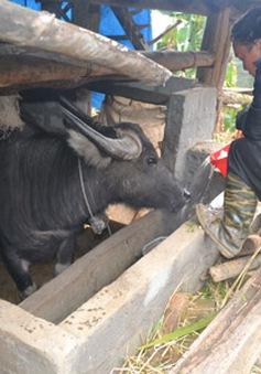 Nông dân Sa Pa điêu đứng vì gia súc chết rét