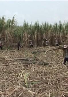 ĐBSCL: Xót xa trước việc người dân quay lưng với cây mía