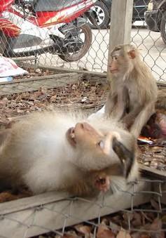Giải cứu 6 cá thể khỉ thuộc nhóm nguy cấp quý hiếm