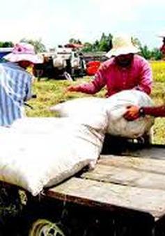 ĐBSCL: Giá lúa, gạo tiếp tục giảm