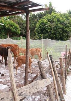 Quảng Ngãi: Xuất hiện ổ dịch bệnh lở mồm long móng