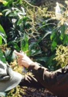 Khánh Hòa: Sâu bệnh gây thiệt hại nặng hàng nghìn ha xoài