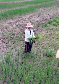 Gần 20.000ha đất sản xuất lúa tại Cà Mau bị nhiễm mặn