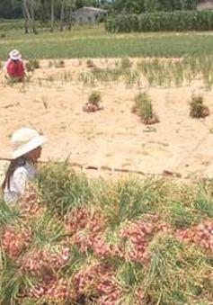 Quảng Ngãi: Hành trái vụ Lý Sơn mất giá