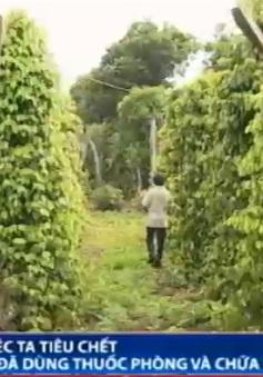 Lạ lùng hàng loạt vườn tiêu bị chết dù đã được trị bệnh