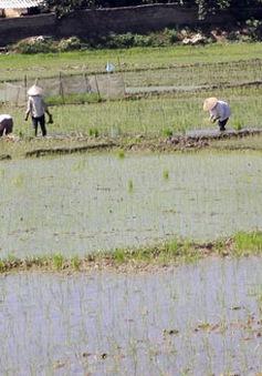 Kiên Giang: Sản xuất lúa vụ 3 lợi bất cập hại