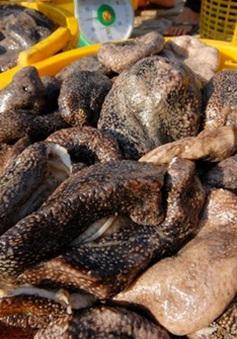 Ngư dân cần thận trọng khi khai thác con banh lông