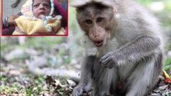 Ấn Độ: Khỉ tấn công bé trai 12 ngày tuổi