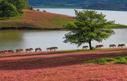 Chiêm ngưỡng vẻ quyến rũ của cánh đồng cỏ hồng Đà Lạt