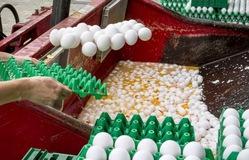 Bỉ, Hà Lan và Đức chịu ảnh hưởng nặng nề nhất từ vụ trứng bẩn