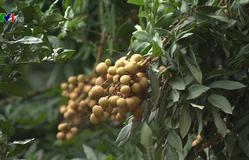 Chuyện nhà nông: với nông nghiệp: Mùa nhãn về