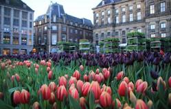Hàng nghìn bông hoa rực rỡ sắc màu trong Ngày Quốc gia Hoa tulip ở Hà Lan