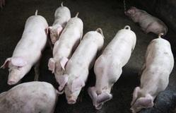 Tội phạm tại Trung Quốc phát tán dịch tả lợn châu Phi để ép giá người nuôi