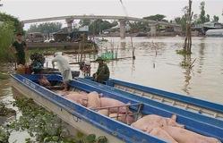 Long An xuất hiện tình trạng nhập lậu lợn từ Campuchia