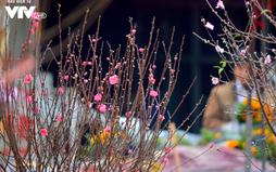 Ngỡ ngàng đào Nhật Tân nở sớm khoe sắc tại chợ hoa Quảng Bá