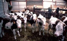 Scotland xác nhận phát hiện trường hợp bò điên