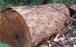 2 trạm bảo vệ rừng chốt 2 đầu - Lâm tặc ngang nhiên phá rừng cổ thụ ở Kon Tum